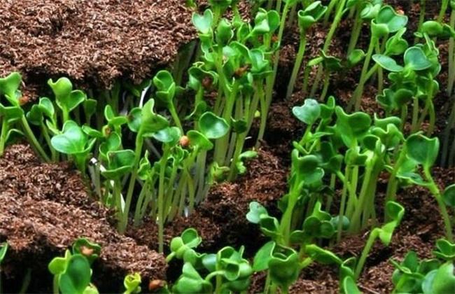绿豆 夏季直播 种植技术