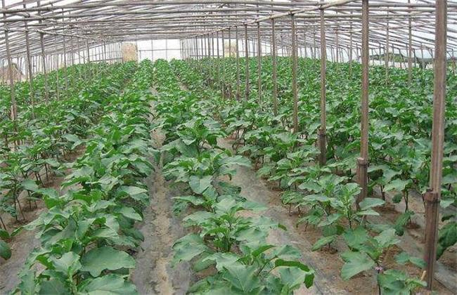 茄子 定植后 管理技术