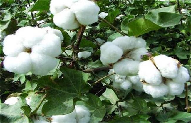 棉花叶面肥选择和使用注意事项