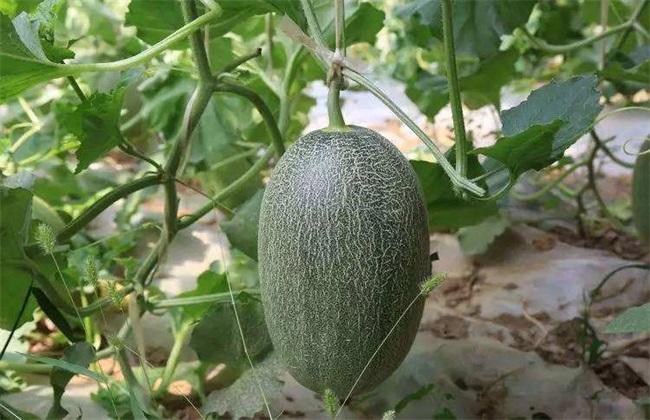 哈密瓜的种植条件