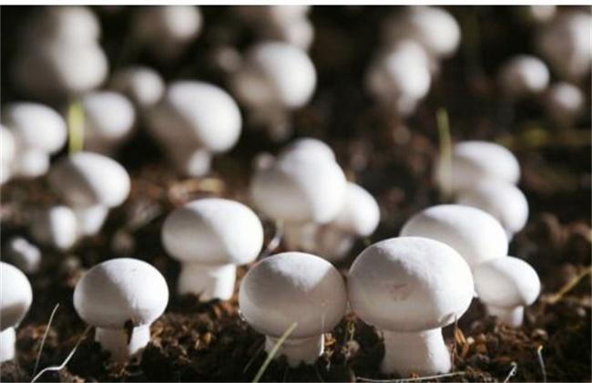 菇螨症状和防治方法