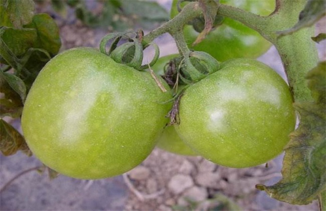 西红柿冻害 怎么办 冻害症状