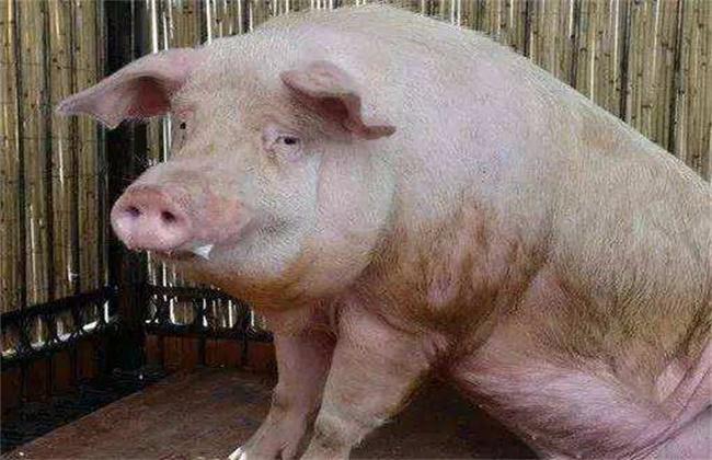 猪饲料中毒或药物中毒的抢救方法