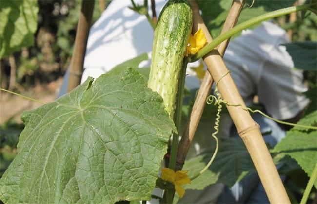 夏季 黄瓜种植 注意事项