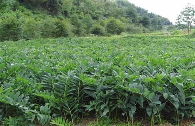 玉竹的田间管理方法