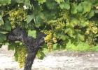 如何提高葡萄的产量