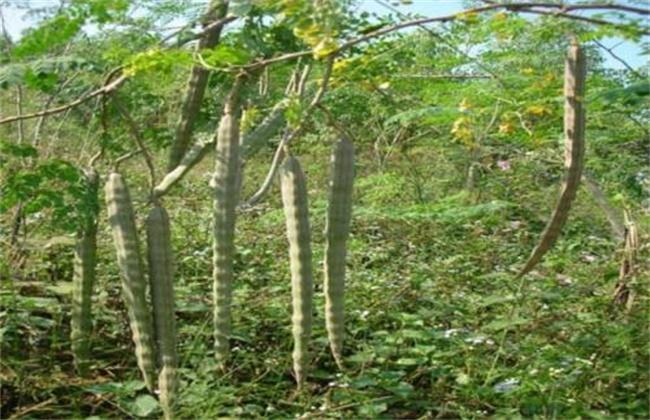 辣木的种植技术