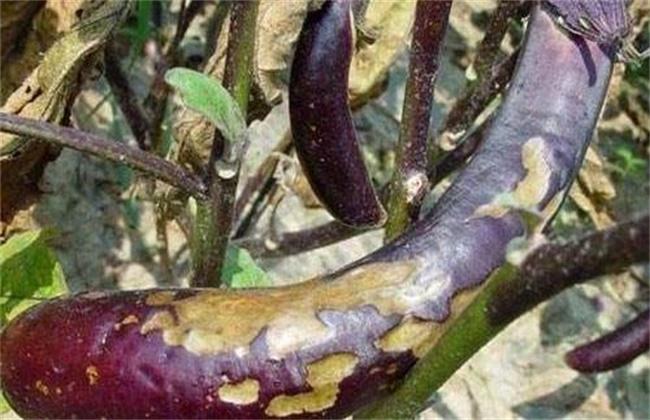 茄子烂果原因及防治方法