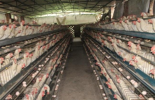 夏季 蛋鸡 饲料调整