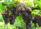 葡萄用药注意事项