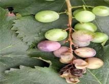防治葡萄转色病