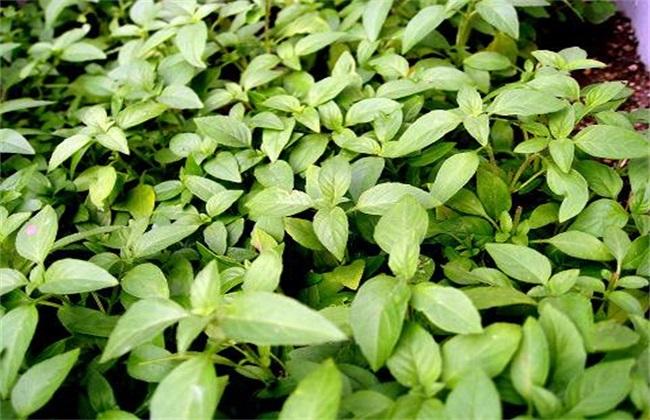 荆芥种植管理方法