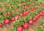 大红萝卜的种植技术