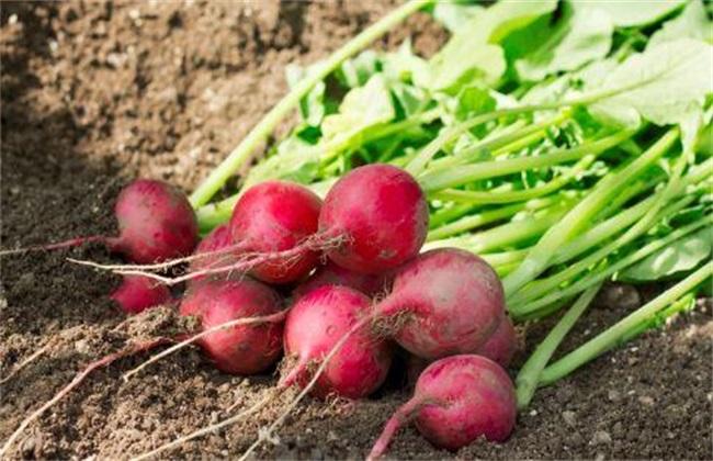 大棚 红皮萝卜 种植技术