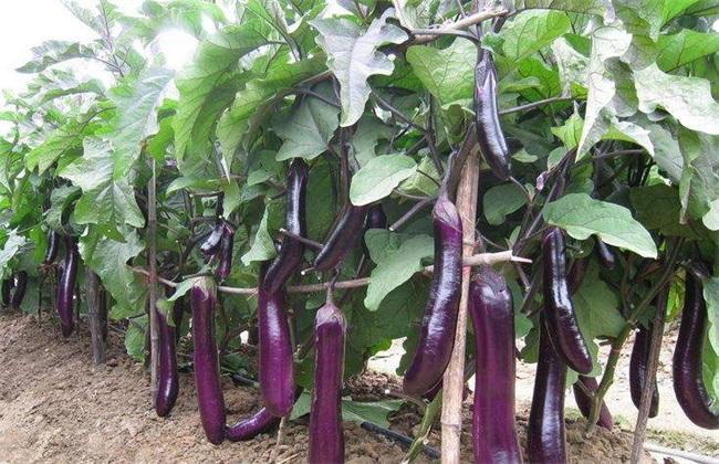 无公害茄子 生产技术 茄子