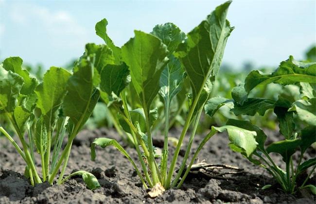 菠菜高产种植 菠菜高产 菠菜
