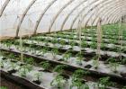 大棚番茄施肥方法