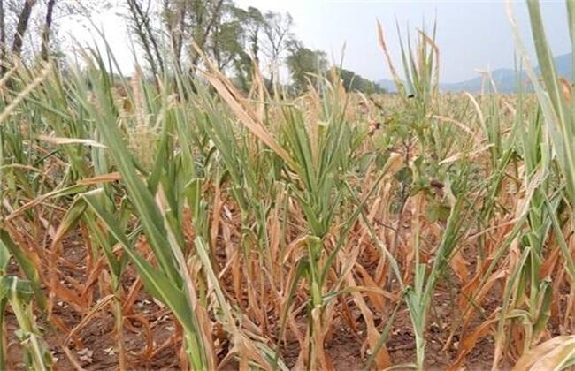 如何预防玉米高温危害的方法