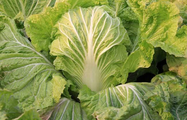 夏播大白菜 种植技术
