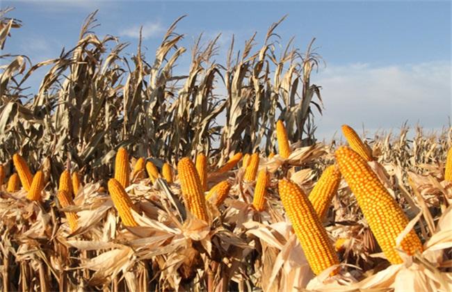 玉米种子什么品种好