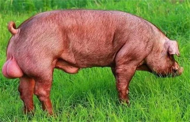 夏季如何保证种猪的配种成功率