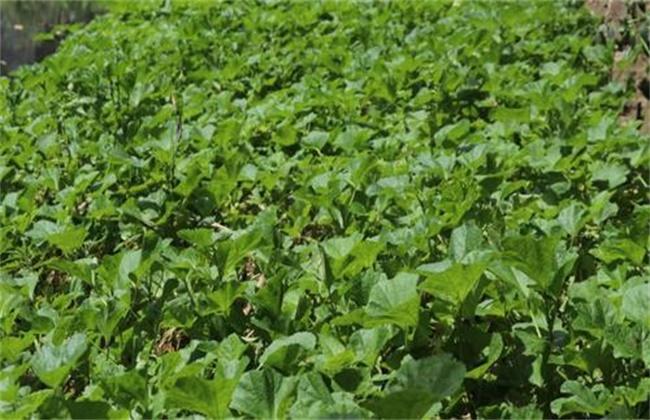 冬寒菜的种植时间和方法