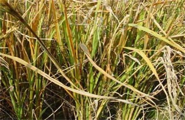 水稻黄叶原因及防治方法