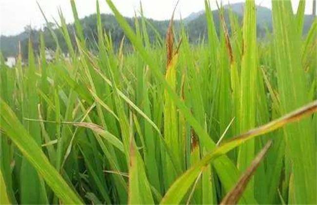 水稻叶子发红是什么病