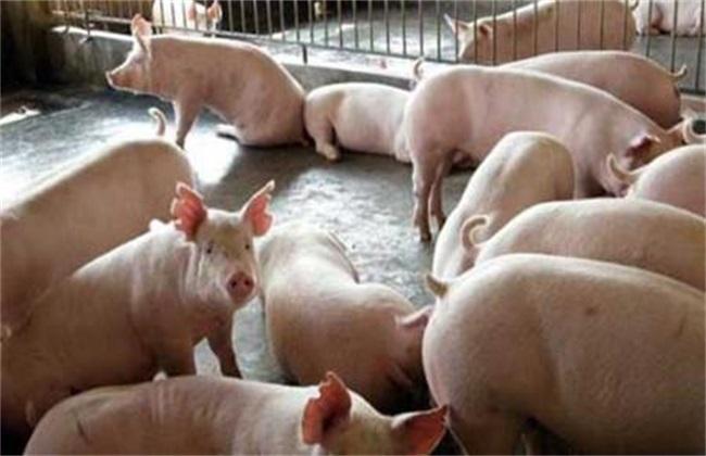 猪低温不食原因 猪低温不食