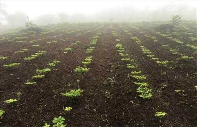 魔芋产量低原因及预防措施
