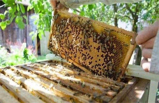 人工分蜂方法及注意事项