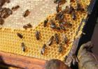蜜蜂失王后如何造王台