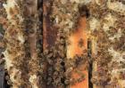 合并蜂群如何防回蜂