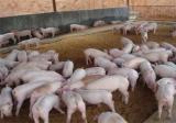 如何提高仔猪的成活率