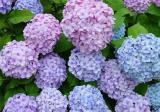 绣球花该怎么繁殖?绣球花的繁殖方法