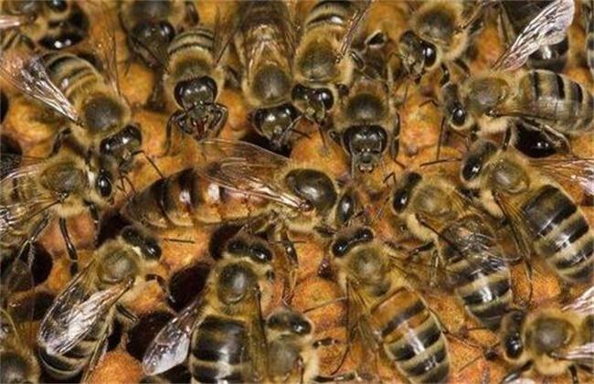 中蜂逃群原因及处理方法