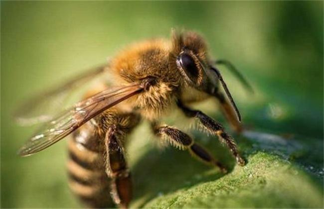 蜜蜂不酿蜜是什么原因