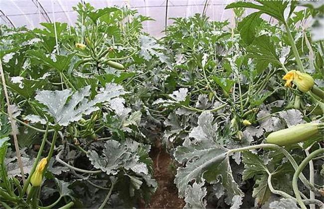 秋季西葫芦高产栽培技术