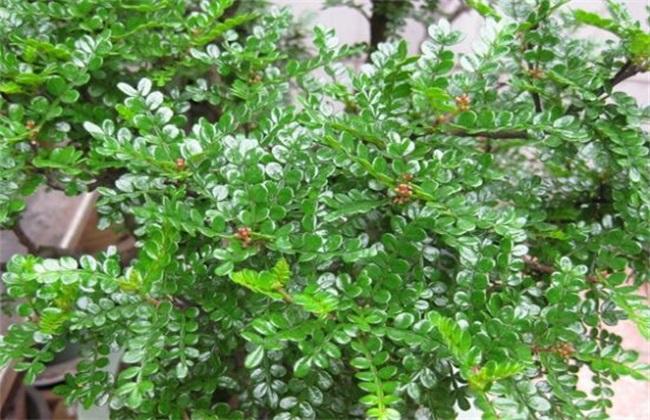 清香木花的叶子发过黄图片