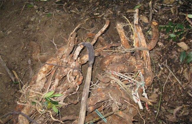 野生猕猴桃根的功效与作用