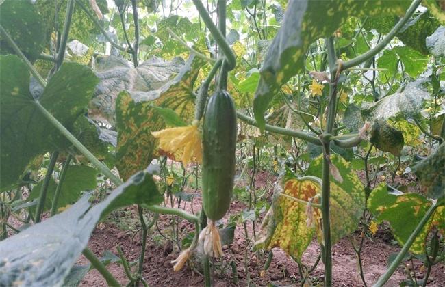 秋黄瓜产量低原因及防治方法