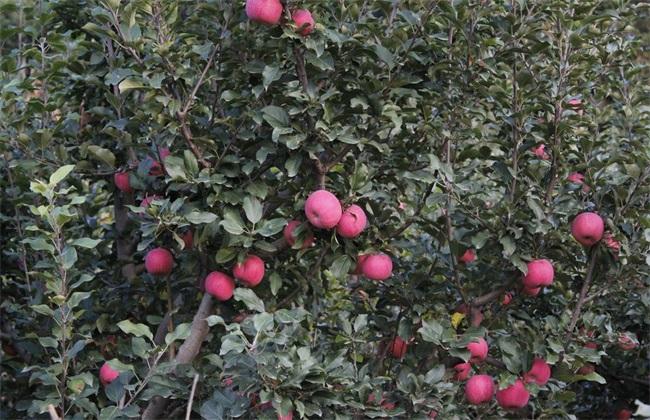 苹果树 秋冬季 管理技术