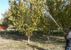 杏树秋季管理要点