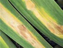 大蒜常见病虫害防治