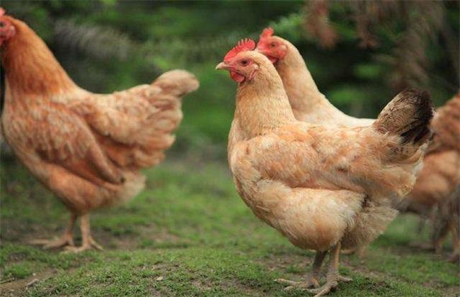 土鸡多少钱一斤 土鸡价格