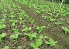 秋白菜苗期该怎么管理