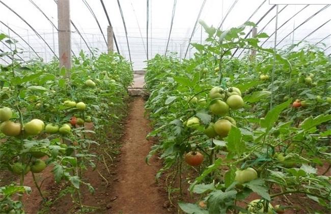大棚番茄种植 大棚番茄怎么种