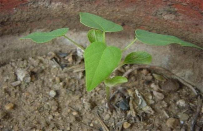 木瓜的繁殖方法