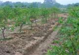 果园土壤板结是怎样造成的