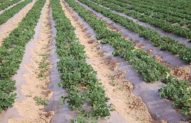 影响花生 种植密度 因素